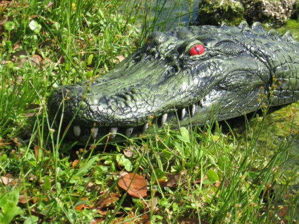 The Pond Outlet Blog 187 Blog Archive 187 There S A New Gator In Town