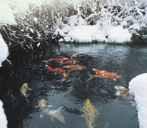 The pond outlet blog for Koi pond temperature