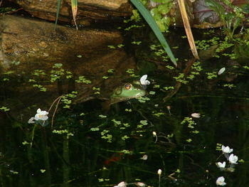 Michael's Pond - Kermit our Frog