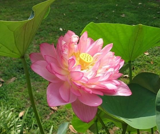 Momo Botan Lotus Lotus