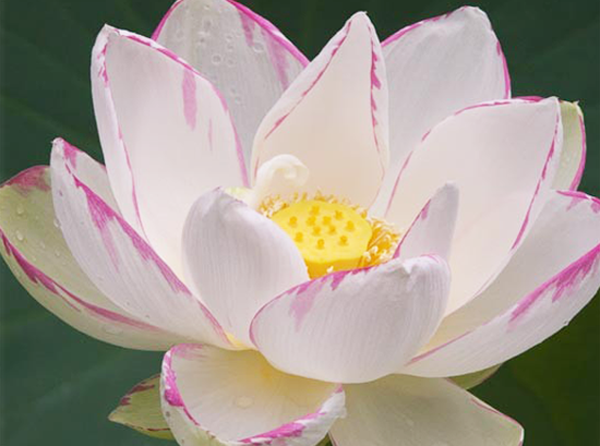 Empress Lotus (Nelumbo Nucifera) Sold Out For 2018