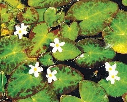 White Snowflake Nymphoides Indica Tropical Bog Plants