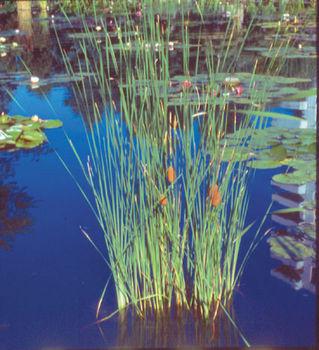 Pond Plants Common Cattail Typha Latifolia