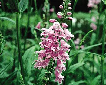 Obedient Plant Physostegia Virginiana Hardy Bog Plants
