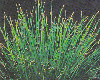 Pond Plants Spike Rush Eleocharis Montevidensis