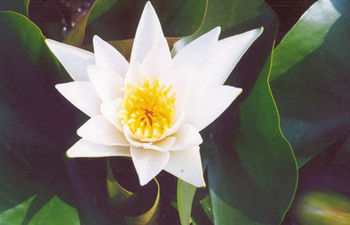 Pond plants water lilies albatros white water lily for Ultimate koi clay