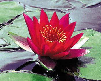 Pond plants water lilies laydekeri fulgens red water lily for Ultimate koi clay