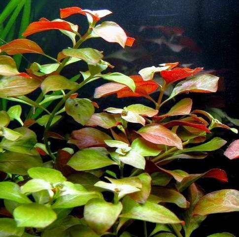Pond Plants - ​Red Ludwigia - Ludwigia Repens
