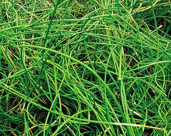Pond Plants -Corkscrew Rush - Juncus Effusus Spiralis
