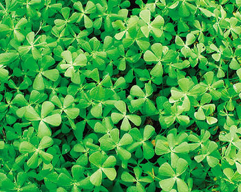 Dwarf clover shallow water marginal plants for Ultimate koi clay