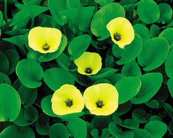 Water poppy tropical floating plants for Koi zone pond aquatics