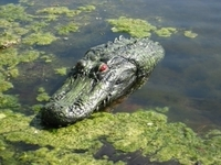 Image Gator Pond Float with Reflective Eyes