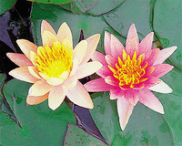 Image Hardy Changeable Water Lily - Nymphaea Aurora