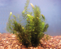 Image HORNWORT- Sold in clumps of Five Strands