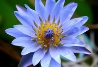Image Blue Water Lilies