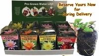 Image Pre-Grown Water Lilies