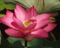 Image First Lady Lotus