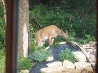 Jim Kellar's Deer thumbnail