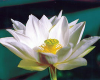 Image Tulip Lotus
