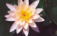 Image Pond Lilies