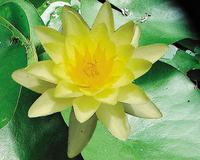 Image Chromatella Lily