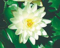 Image Hardy White Lilies