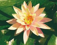 Image Pink Grapefruit Lily