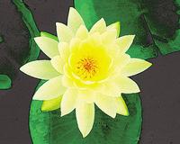 Image Hardy Yellow Lilies