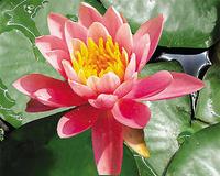 Image Rose Arey