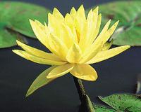 Image Texas Dawn Lily