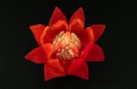 Image Caspicum Lotus