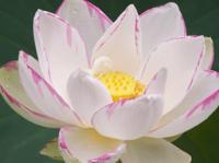 Image Empress Lotus - Nelumbo Nucifera