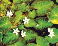 Image White Snowflake - Nymphoides Indica