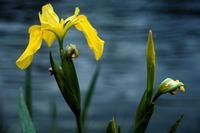 Image Yellow Iris TEST PAGE copy