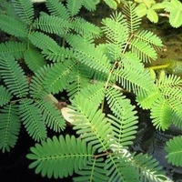 Image Sensitive Plant - Neptunia Aquatica