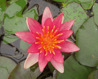 Image Red Hardy Water Lily - Nymphaea Indiana