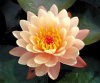 Image Mangkala Ubul - Hardy Peach Water Lily