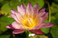 Image Hardy Peach Water Lily - Nymphaea Albert Greenberg