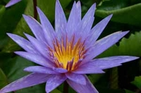 Image Blue Spider - Blue Tropical Water Lily