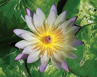 Image Chartreuse Tropical Day Lily - Nymphaea Green Smoke