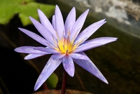 Image Purple Tropical Water Lily - Nymphaea Islamorada