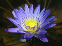 Image Blue Tropical Water Lily - Nymphaea Leopardes