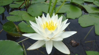 Image Odorata White Hardy Water Lily