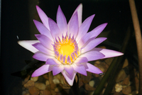 Image Pink Tropical Water Lily - Nymphaea Madame Ganna Walska