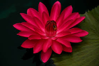 Image Red Tropical Water Lily - Nymphaea Antares