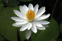 Image White Tropical Water Lily - Nymphaea Trudy Slocum