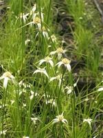 Image Star Grass - Dichromena Colorata