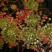 Image Mosaic Floating Bog Plant -Ludwigia Sedioides