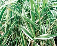 Image Variegated Giant Reed - Arundo Donax Var.