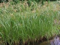 Image Hardy Umbrella Grass - Cyperus Longus